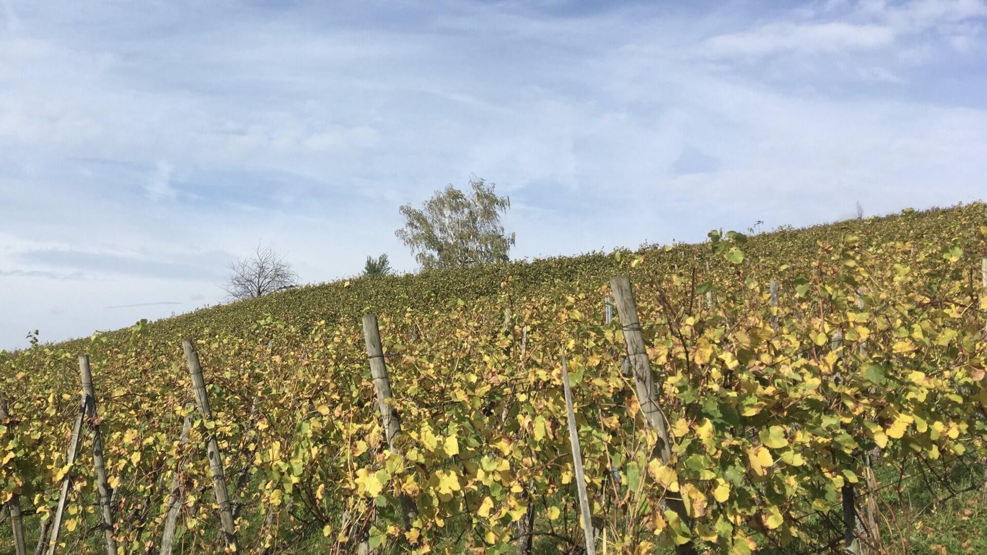 Herbstlicher Weinberg vom Winzerhof Ebringen