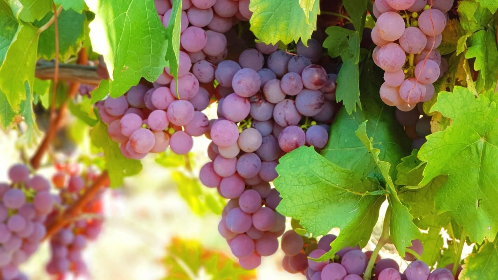 Gesunde Trauben liefern die Basis für die köstlichen Rotweine des Winzerhofes Ebringen.
